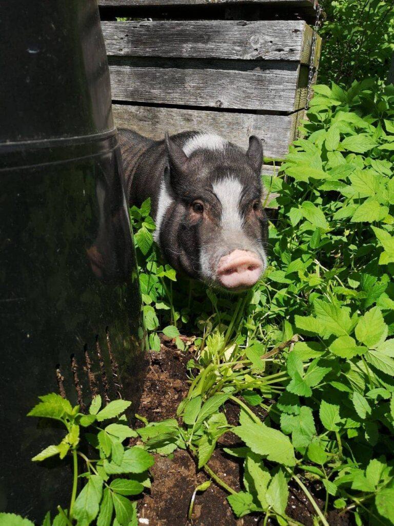 Astride le cochon dans les feuilles