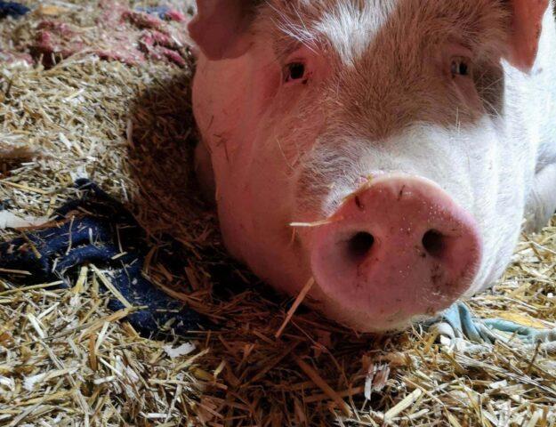 Pourquoi j'aide le SAFE – Sanctuaire pour animaux de ferme de l'Estrie